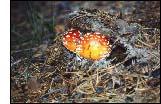 Flugsvampar. Foto: Bia Rask